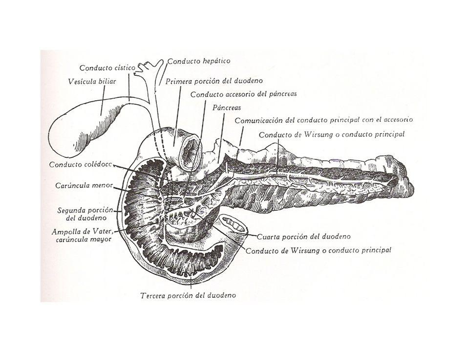 Conducto de Wirsung Inicia en cola de páncreas Corre hacia la cabeza Corre por caudal del colédoco Se une a colédoco Penetran a pared de duodeno