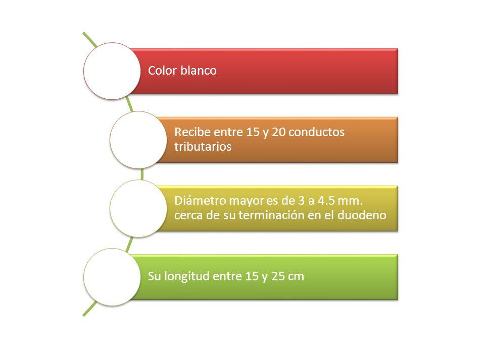 Color blanco Recibe entre 15 y 20 conductos tributarios Diámetro mayor es de 3 a 4.5 mm. cerca de su terminación en el duodeno Su longitud entre 15 y