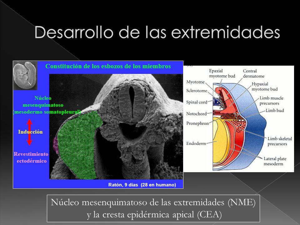 Núcleo mesenquimatoso de las extremidades (NME) y la cresta epidérmica apical (CEA)