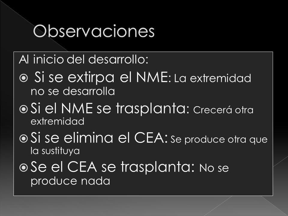 Al inicio del desarrollo: Si se extirpa el NME : La extremidad no se desarrolla Si el NME se trasplanta : Crecerá otra extremidad Si se elimina el CEA