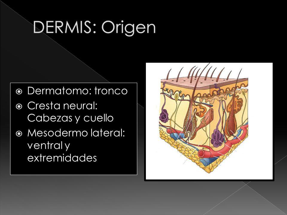 Dermatomo: tronco Cresta neural: Cabezas y cuello Mesodermo lateral: ventral y extremidades