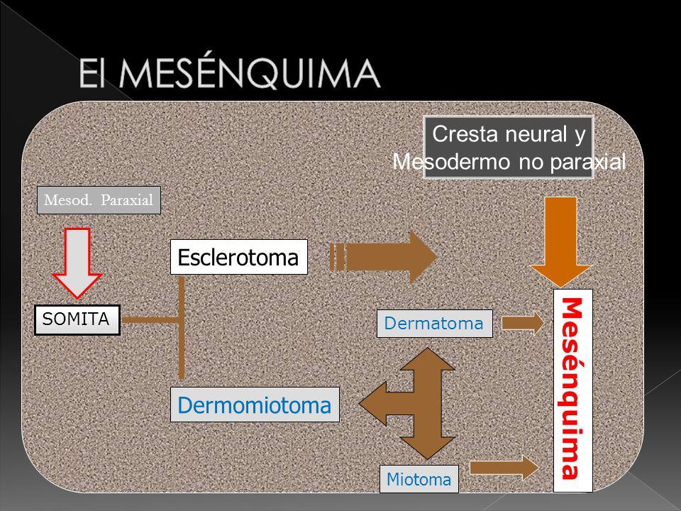Esclerotoma Mesénquima Dermomiotoma Dermatoma Miotoma Cresta neural y Mesodermo no paraxial SOMITA Mesod.