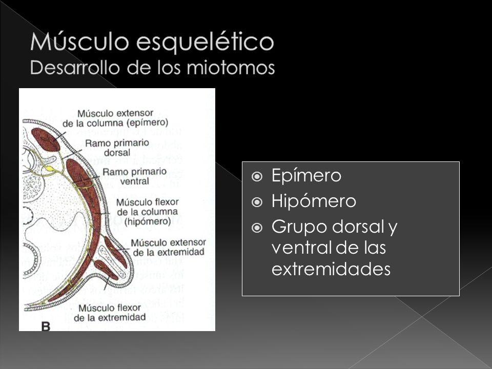 Epímero Hipómero Grupo dorsal y ventral de las extremidades