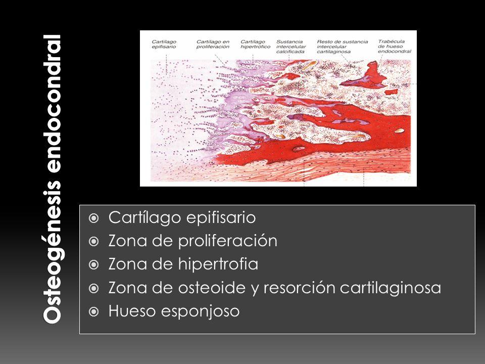 Cartílago epifisario Zona de proliferación Zona de hipertrofia Zona de osteoide y resorción cartilaginosa Hueso esponjoso