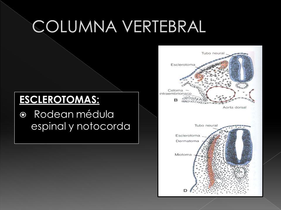 ESCLEROTOMAS: Rodean médula espinal y notocorda