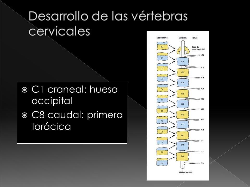 C1 craneal: hueso occipital C8 caudal: primera torácica