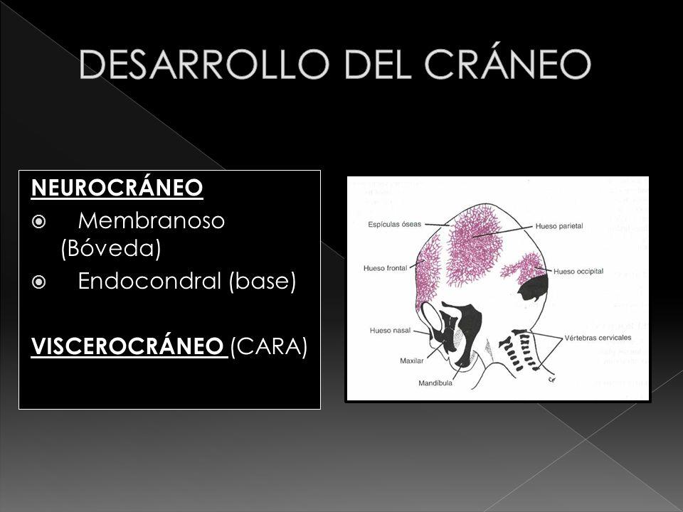 NEUROCRÁNEO Membranoso (Bóveda) Endocondral (base) VISCEROCRÁNEO (CARA)