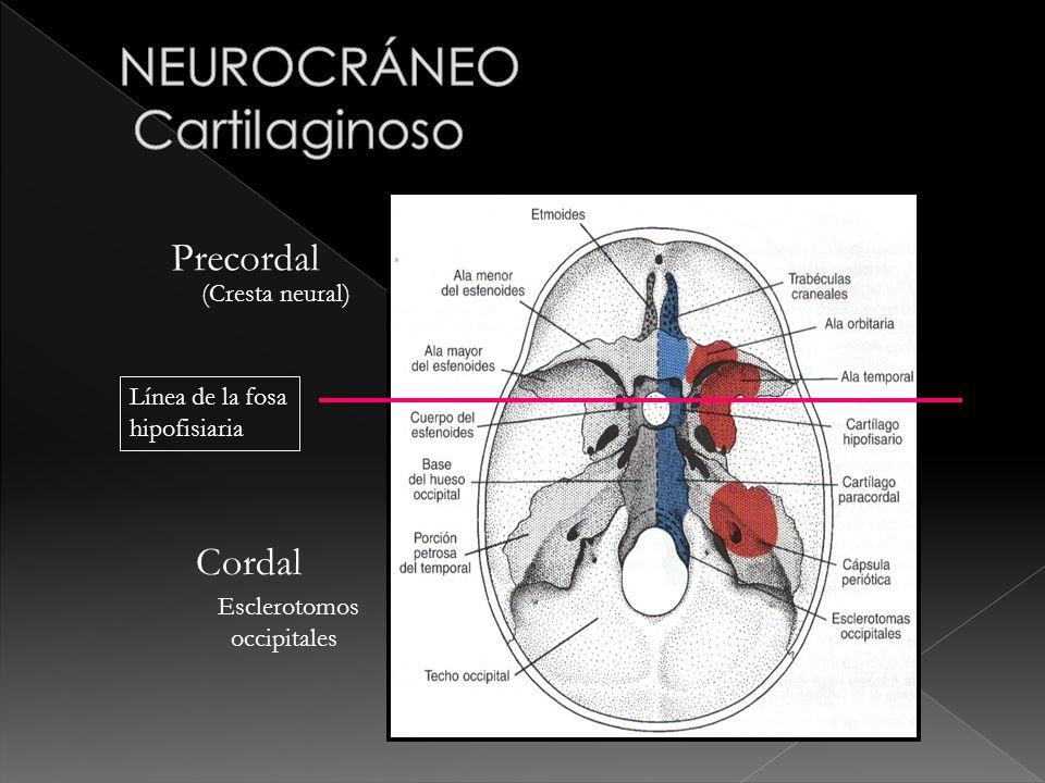 Línea de la fosa hipofisiaria Precordal Cordal (Cresta neural) Esclerotomos occipitales