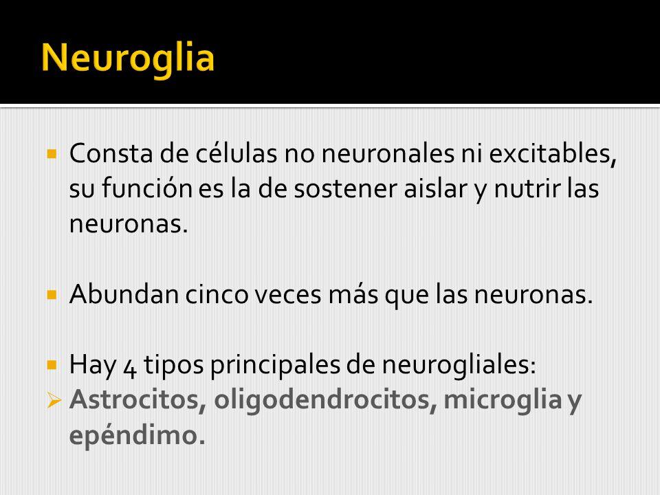 Consta de células no neuronales ni excitables, su función es la de sostener aislar y nutrir las neuronas.