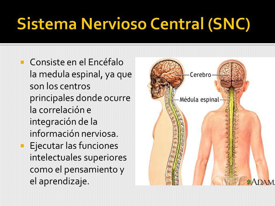 Consiste en el Encéfalo la medula espinal, ya que son los centros principales donde ocurre la correlación e integración de la información nerviosa.