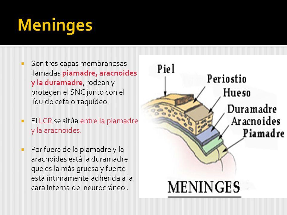 Son tres capas membranosas llamadas piamadre, aracnoides y la duramadre, rodean y protegen el SNC junto con el líquido cefalorraquídeo.