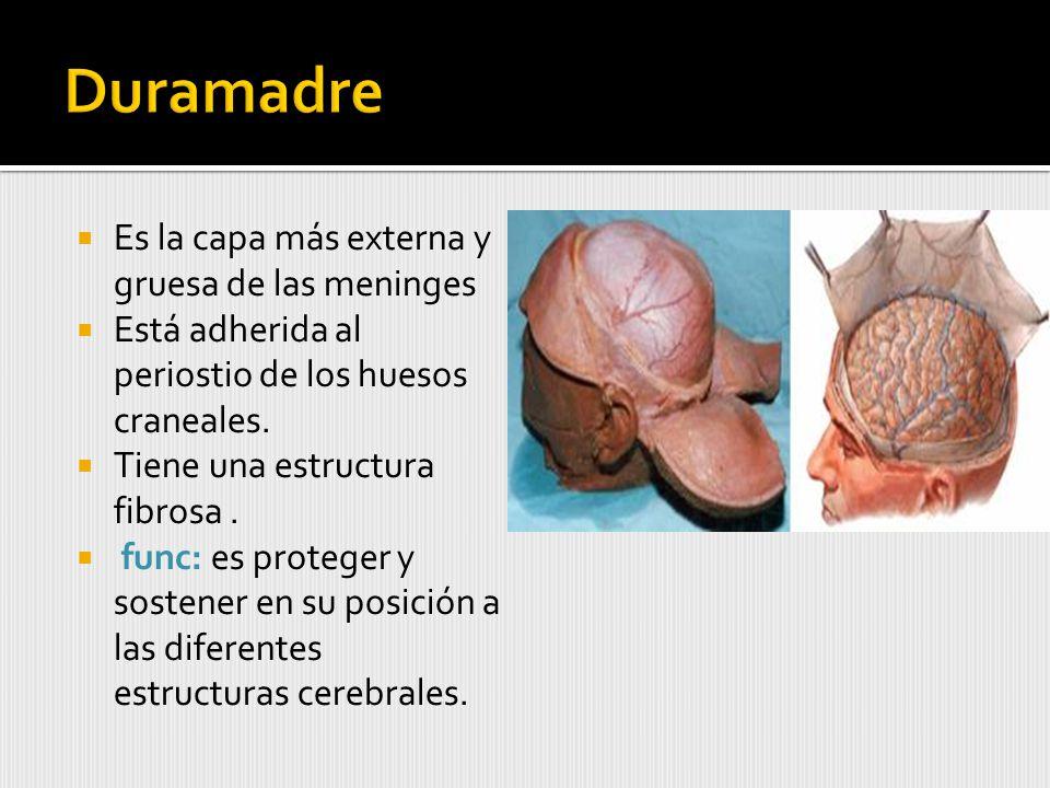 Es la capa más externa y gruesa de las meninges Está adherida al periostio de los huesos craneales.