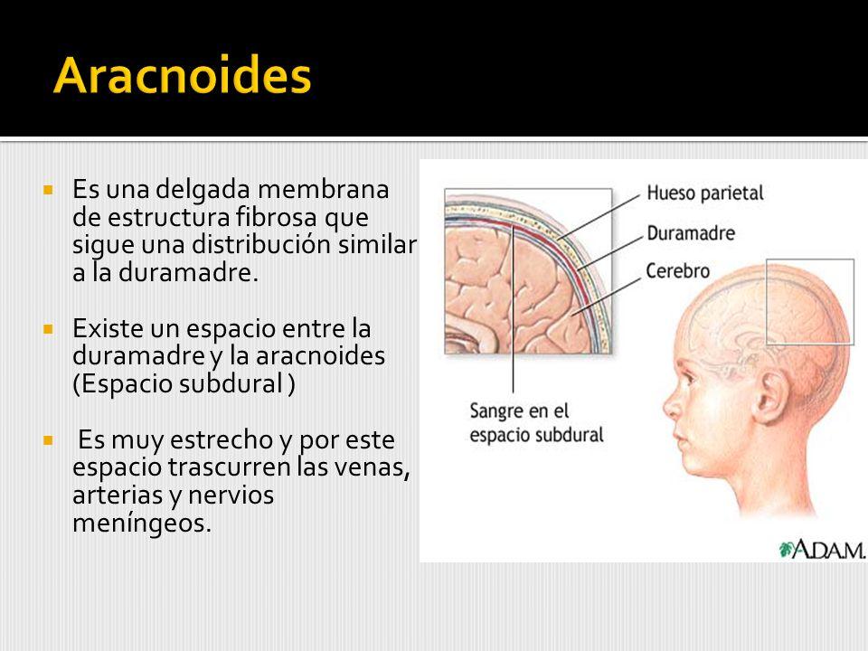Es una delgada membrana de estructura fibrosa que sigue una distribución similar a la duramadre.