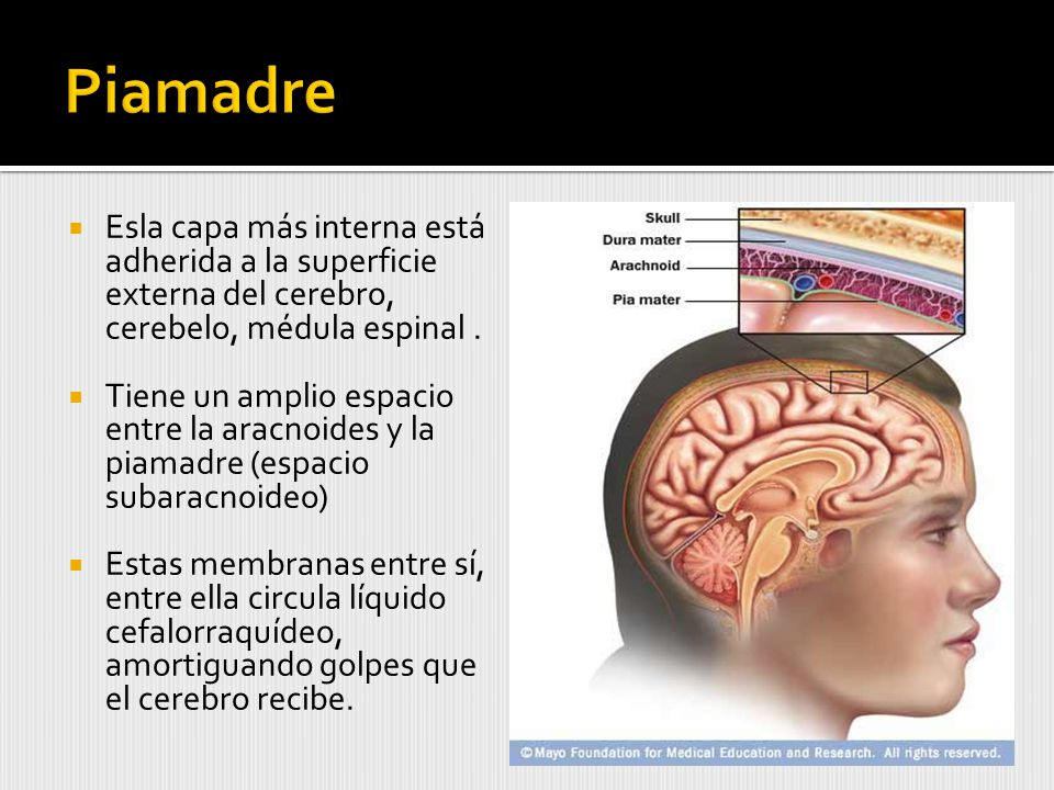 Esla capa más interna está adherida a la superficie externa del cerebro, cerebelo, médula espinal.