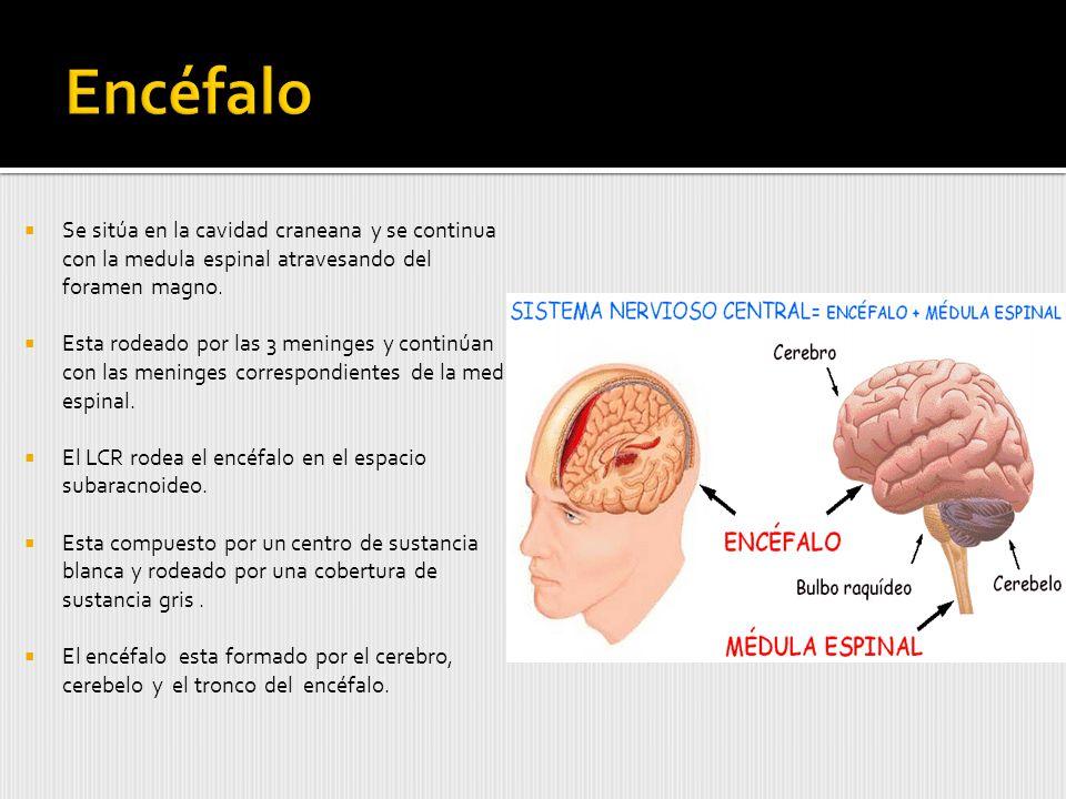 Se sitúa en la cavidad craneana y se continua con la medula espinal atravesando del foramen magno.