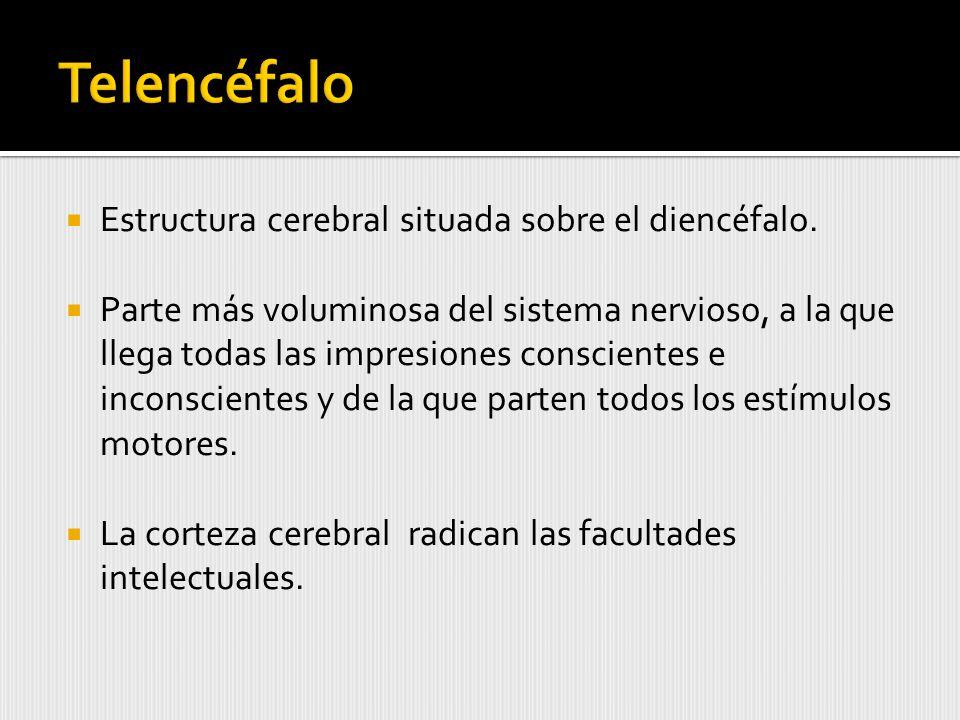 Estructura cerebral situada sobre el diencéfalo.