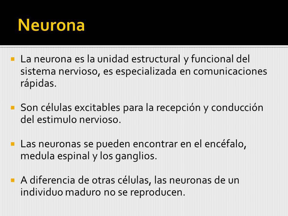 La neurona es la unidad estructural y funcional del sistema nervioso, es especializada en comunicaciones rápidas.
