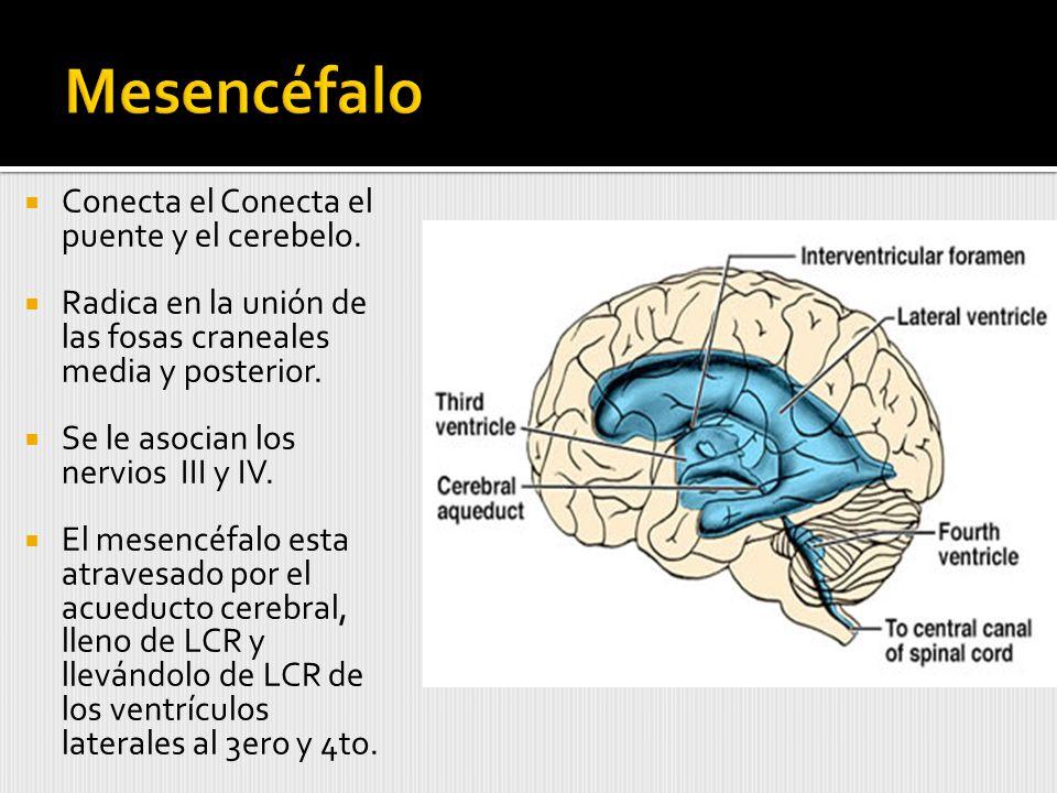 Conecta el Conecta el puente y el cerebelo.
