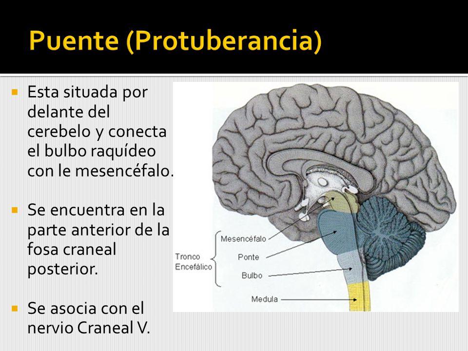 Esta situada por delante del cerebelo y conecta el bulbo raquídeo con le mesencéfalo.
