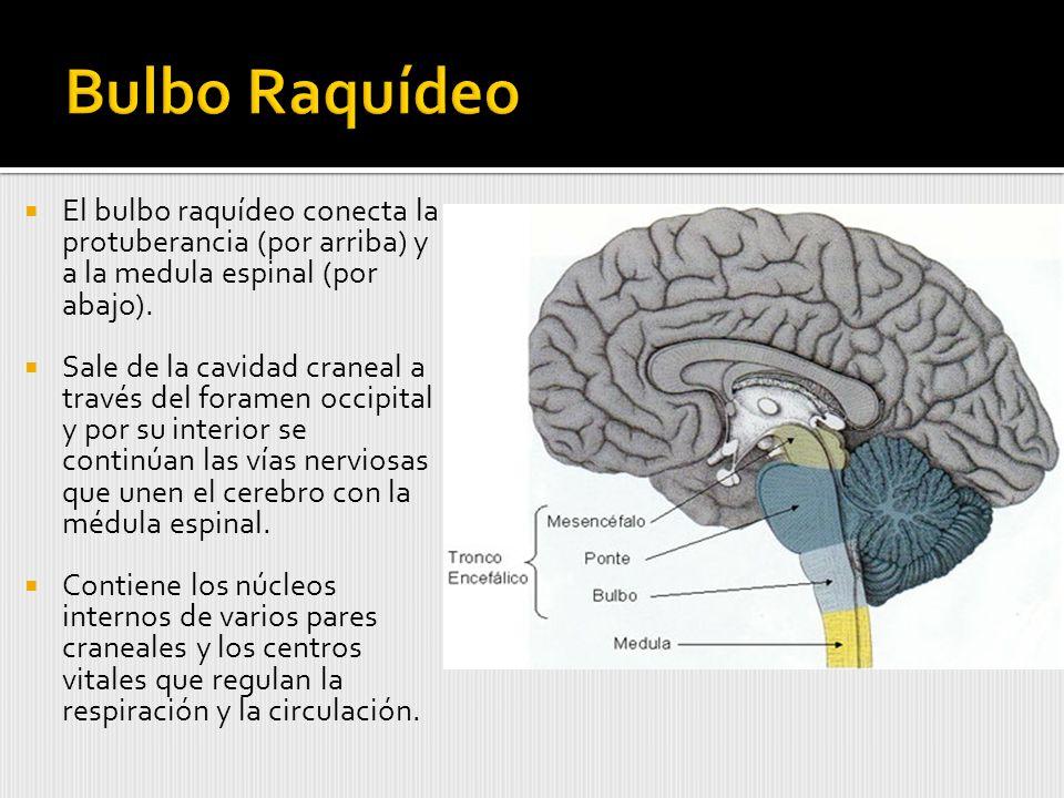 El bulbo raquídeo conecta la protuberancia (por arriba) y a la medula espinal (por abajo).