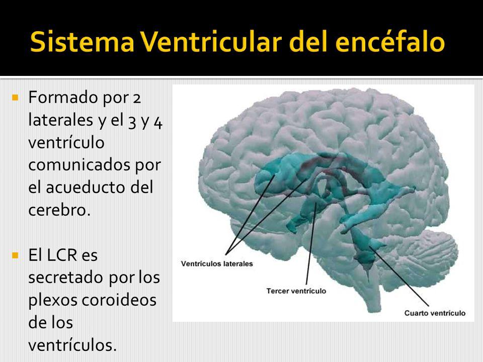 Formado por 2 laterales y el 3 y 4 ventrículo comunicados por el acueducto del cerebro.