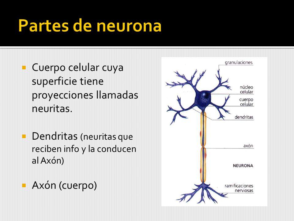 Cuerpo celular cuya superficie tiene proyecciones llamadas neuritas.
