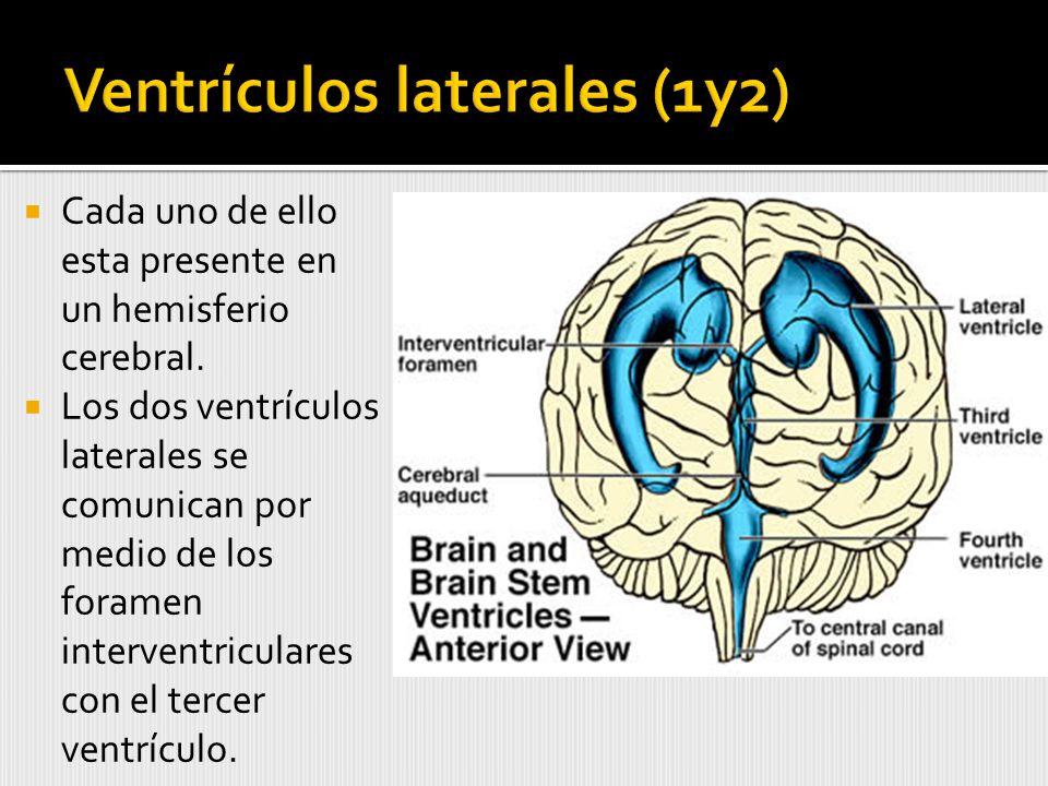 Cada uno de ello esta presente en un hemisferio cerebral.