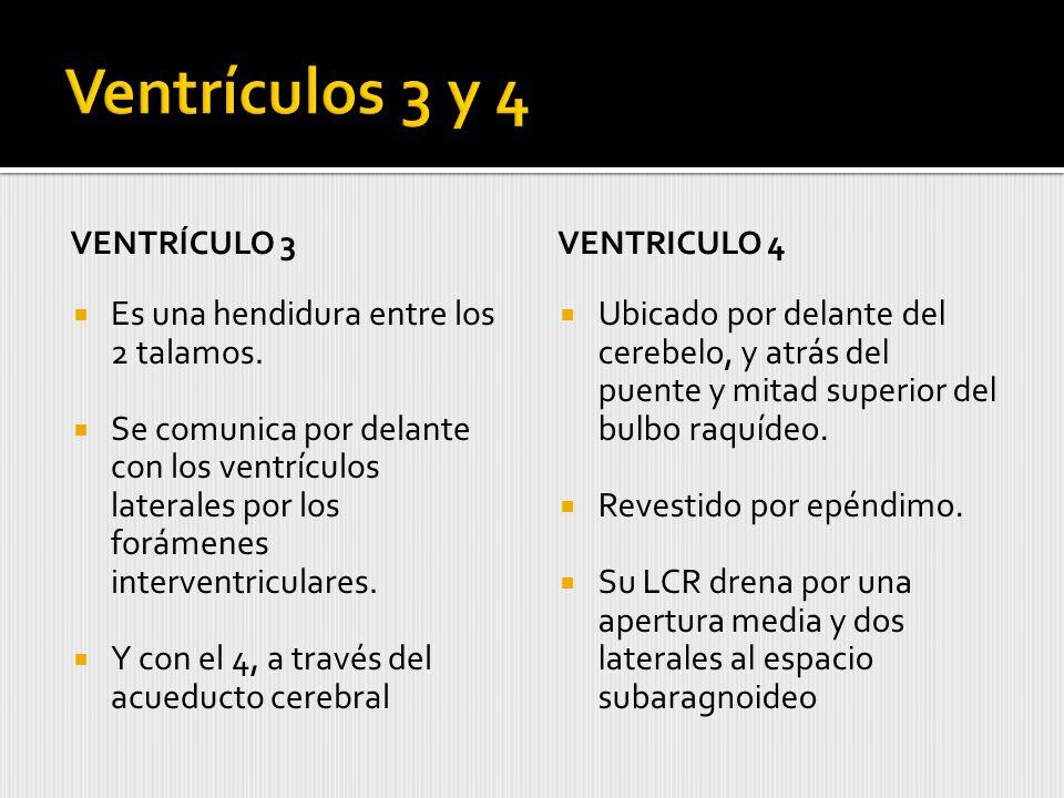 VENTRÍCULO 3 Es una hendidura entre los 2 talamos.
