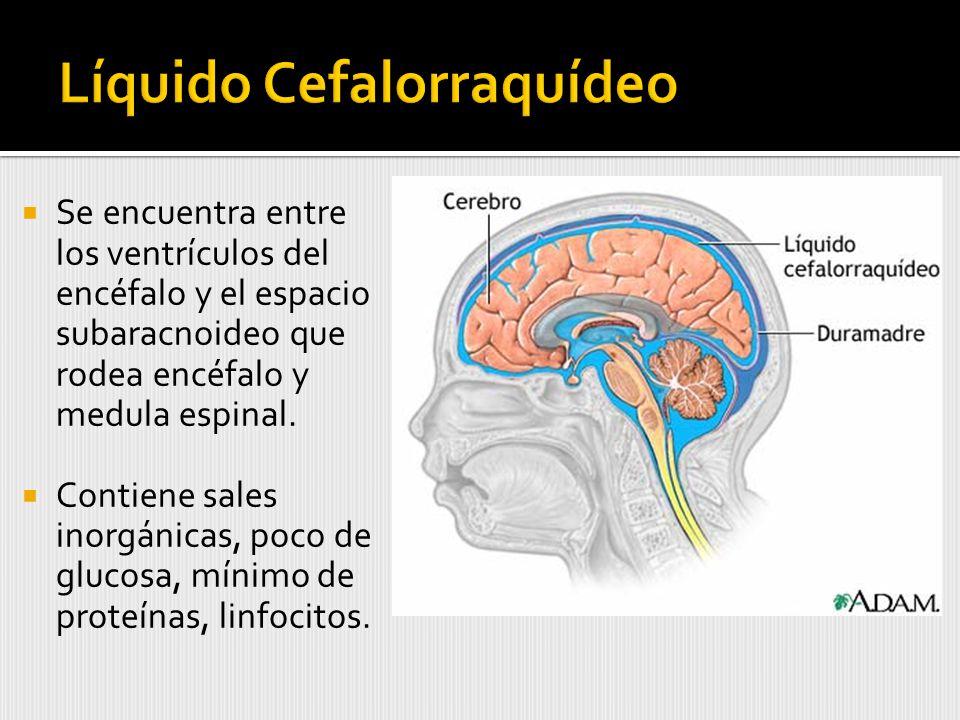 Se encuentra entre los ventrículos del encéfalo y el espacio subaracnoideo que rodea encéfalo y medula espinal.