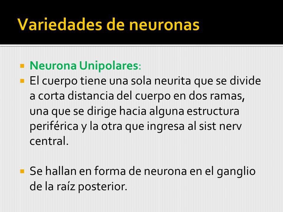 Neurona Unipolares: El cuerpo tiene una sola neurita que se divide a corta distancia del cuerpo en dos ramas, una que se dirige hacia alguna estructura periférica y la otra que ingresa al sist nerv central.
