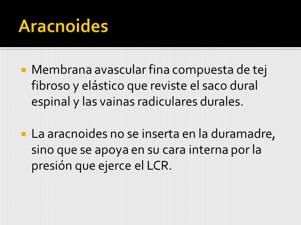 Membrana avascular fina compuesta de tej fibroso y elástico que reviste el saco dural espinal y las vainas radiculares durales.