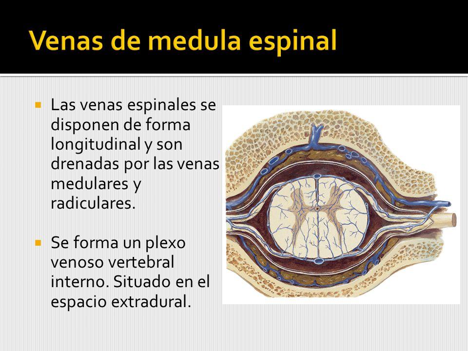 Las venas espinales se disponen de forma longitudinal y son drenadas por las venas medulares y radiculares.