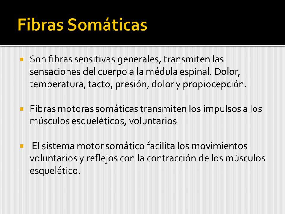Son fibras sensitivas generales, transmiten las sensaciones del cuerpo a la médula espinal.