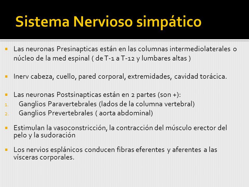 Las neuronas Presinapticas están en las columnas intermediolaterales o núcleo de la med espinal ( de T-1 a T-12 y lumbares altas ) Inerv cabeza, cuello, pared corporal, extremidades, cavidad torácica.