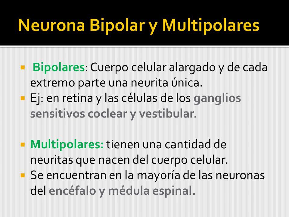 Bipolares: Cuerpo celular alargado y de cada extremo parte una neurita única.