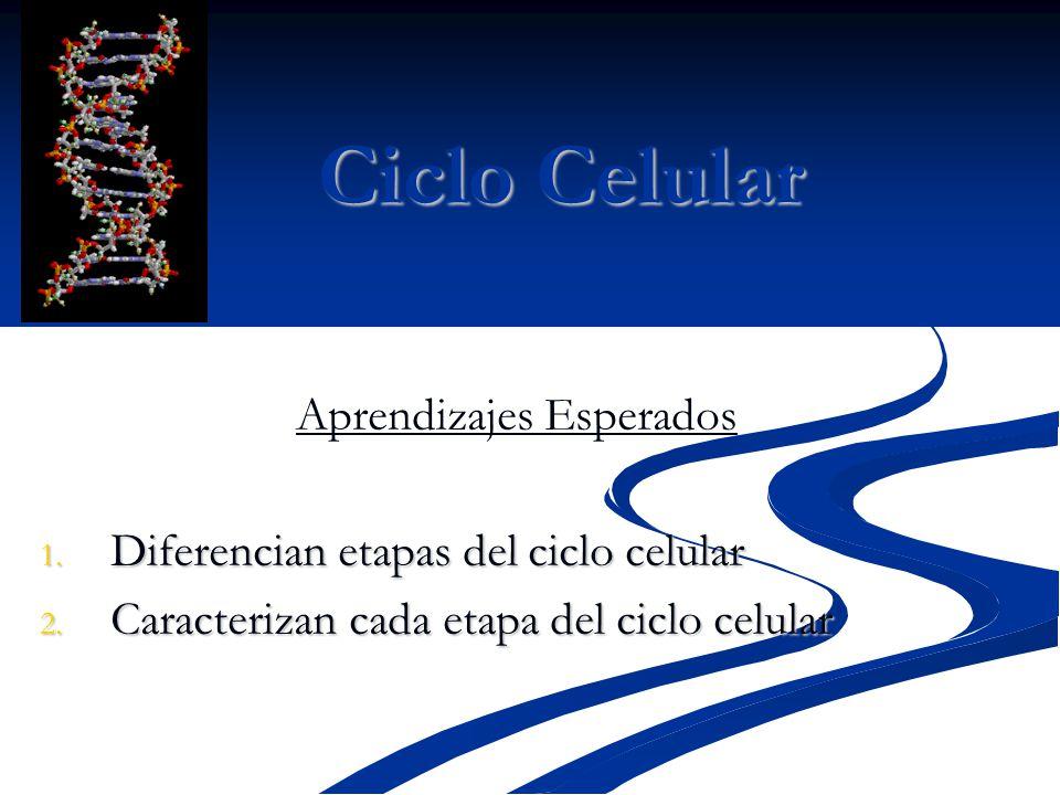 Ciclo Celular Aprendizajes Esperados 1. Diferencian etapas del ciclo celular 2. Caracterizan cada etapa del ciclo celular