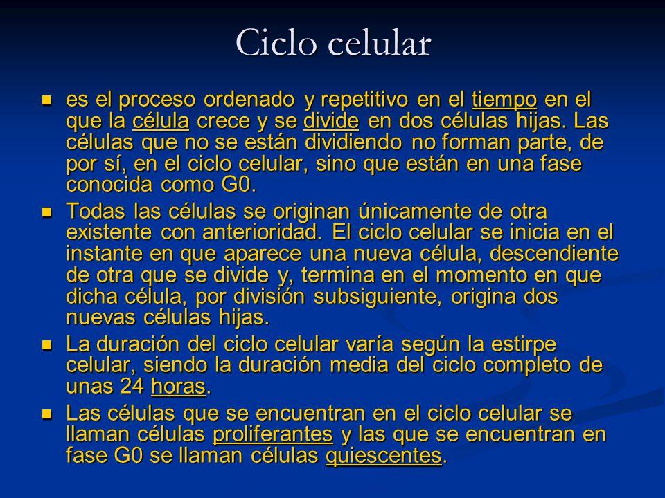 Ciclo celular es el proceso ordenado y repetitivo en el tiempo en el que la célula crece y se divide en dos células hijas. Las células que no se están