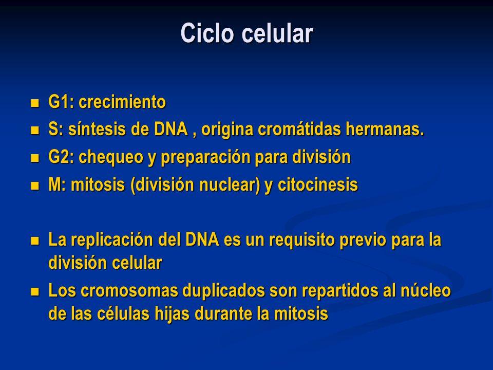 Ciclo celular G1: crecimiento G1: crecimiento S: síntesis de DNA, origina cromátidas hermanas. S: síntesis de DNA, origina cromátidas hermanas. G2: ch