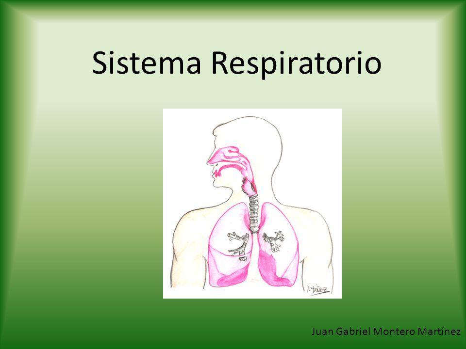 Sistema Respiratorio: Nariz Dorso Tabique Narinas Alitas Cartílago lateral Cartílago septal Cartílago alar Hueso Maxilar
