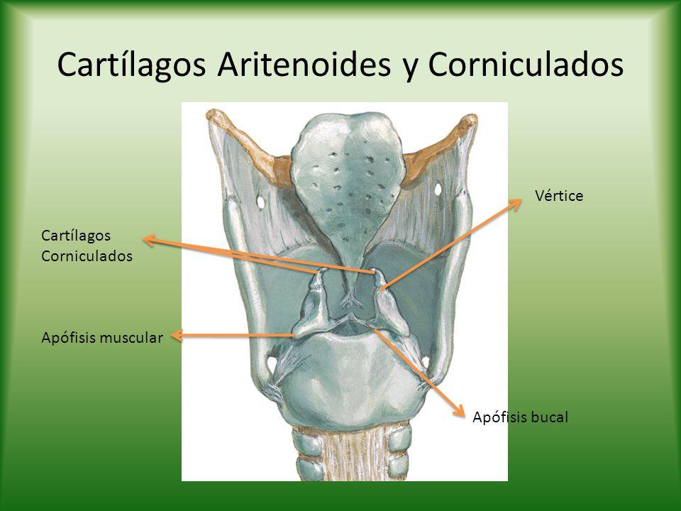 Cartílagos Aritenoides y Corniculados Vértice Apófisis muscular Apófisis bucal Cartílagos Corniculados