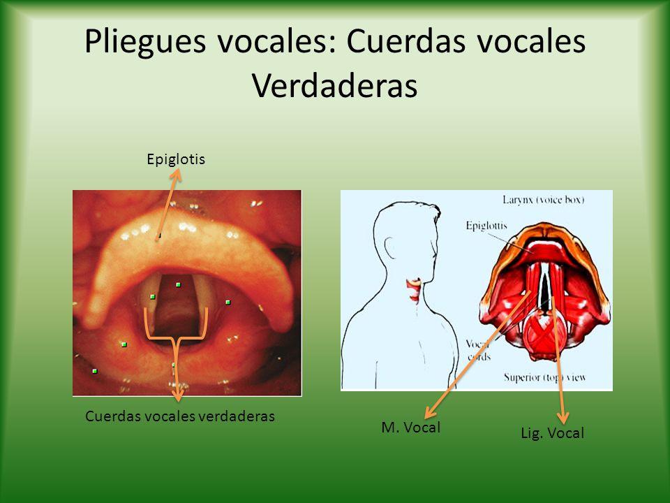 Pliegues vocales: Cuerdas vocales Verdaderas Epiglotis Cuerdas vocales verdaderas Lig.