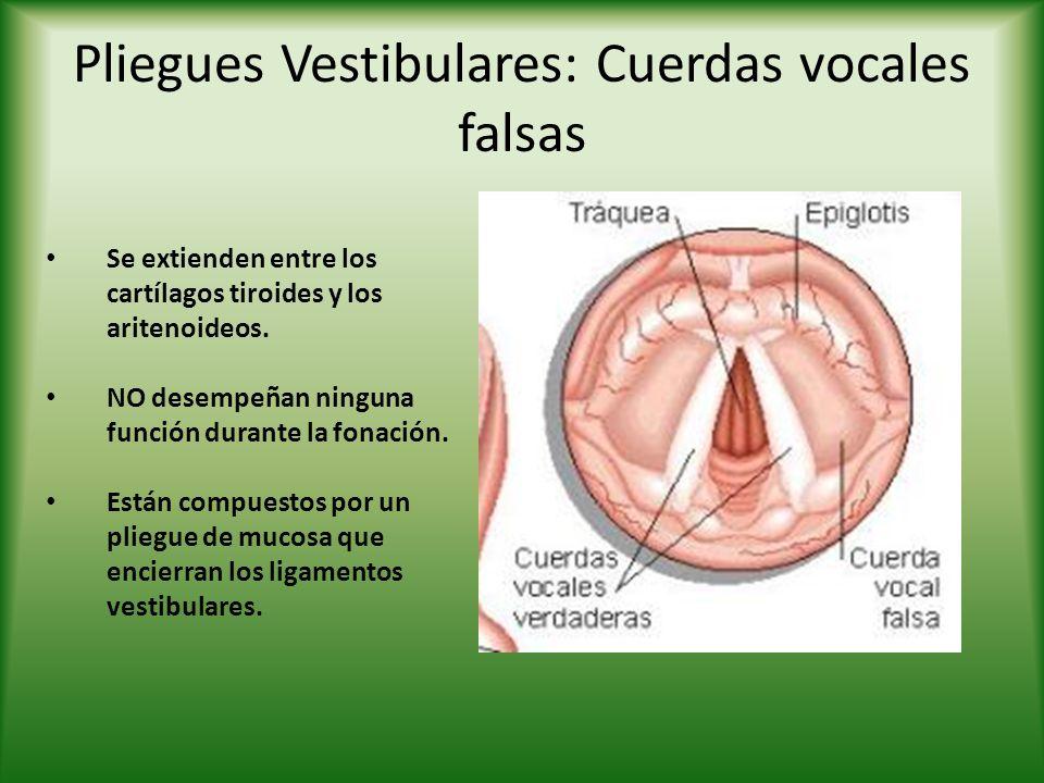 Pliegues Vestibulares: Cuerdas vocales falsas Se extienden entre los cartílagos tiroides y los aritenoideos. NO desempeñan ninguna función durante la