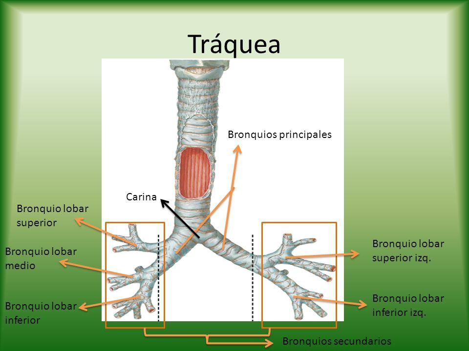 Tráquea Bronquios principales Bronquios secundarios Carina Bronquio lobar superior Bronquio lobar medio Bronquio lobar inferior Bronquio lobar superio