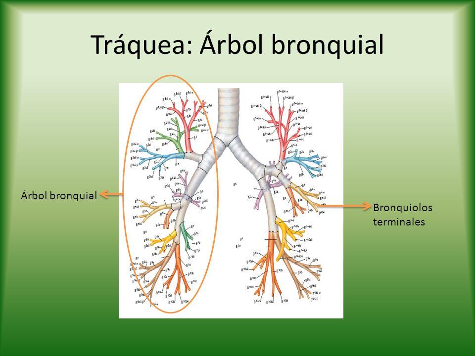 Tráquea: Árbol bronquial Árbol bronquial Bronquiolos terminales