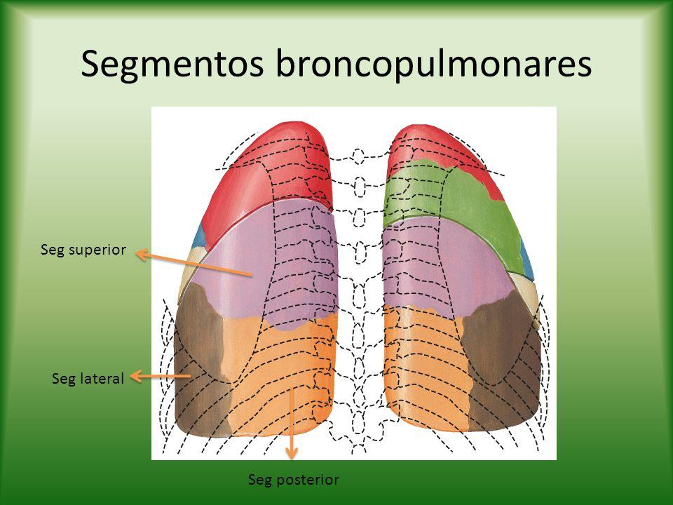 Segmentos broncopulmonares Seg superior Seg lateral Seg posterior