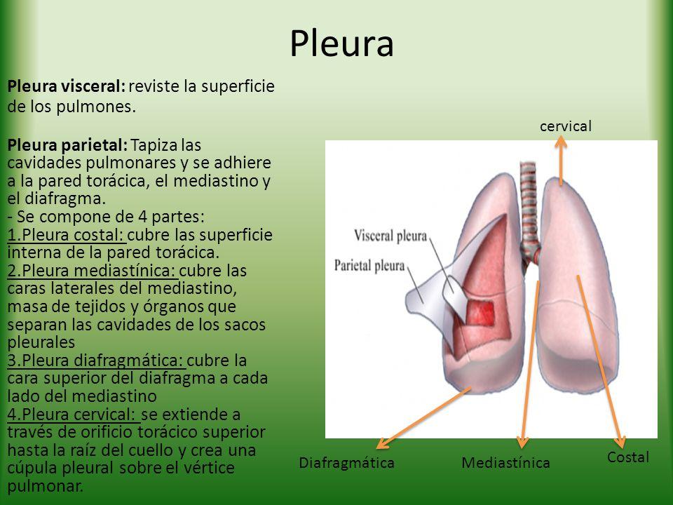 Pleura Pleura visceral: reviste la superficie de los pulmones. Pleura parietal: Tapiza las cavidades pulmonares y se adhiere a la pared torácica, el m