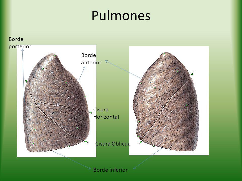 Pulmones Cisura Horizontal Cisura Oblicua Borde anterior Borde posterior Borde inferior