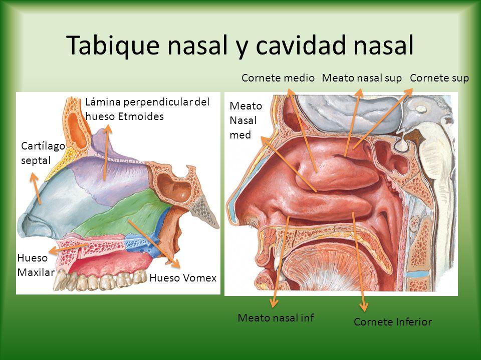 La glotis La Glotis es el aparato vocal de la laringe.