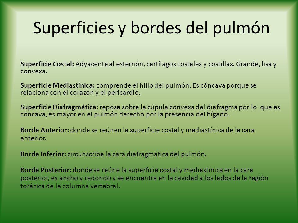 Superficies y bordes del pulmón Superficie Costal: Adyacente al esternón, cartílagos costales y costillas. Grande, lisa y convexa. Superficie Mediastí
