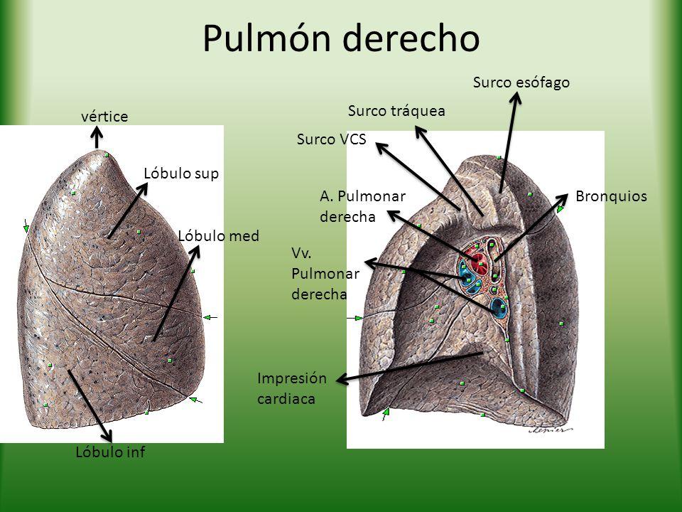 Pulmón derecho vértice Lóbulo sup Lóbulo med Lóbulo inf A. Pulmonar derecha Vv. Pulmonar derecha Surco VCS Surco tráquea Surco esófago Bronquios Impre